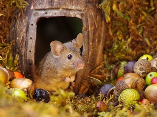 wild house mouse   (4)