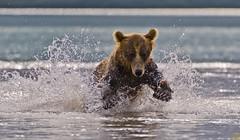 Water jump (paolo_barbarini) Tags: kamchatka kuril wildlife bears orsi water acqua action dip tuffo nationalgeographic animalplanet