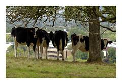 Tir groupé...! (db_copyright photography) Tags: herbe troupeau pontàmousson ngc vache nature billebaude veau animal