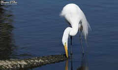 Tastes like chicken (Shannon Rose O'Shea) Tags: shannonroseoshea shannonosheawildlifephotography shannonoshea shannon greategret egret bird beak feathers wings white nature wildlife waterfowl ardeaalba bluewater water americanalligator alligator gator alligatormississippiensis alligatorbreedingmarshandwadingbirdrookery gatorland orlando florida flickr wwwflickrcomphotosshannonroseoshea gatorlandbirdrookery rookery wild wildlifephotography wildlifephotographer wildlifephotograph outdoors outdoor colorful skinnylegs breedingplumage lores fauna camera canon canoneos80d canon80d eos80d 80d canon100400mm14556lisiiusm captive femalephotographer girlphotographer womanphotographer shootlikeagirl shootwithacamera throughherlens closeup close