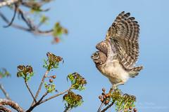 I'Owl Get This ! (ac4photos.) Tags: owl burrowingowl bird nature wildlife animal florida naturephotography wildlifephotography birdphotography animalphotography owlphotography nikon d500 tamron150600mm ac4photos ac