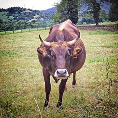 Bovine antagonist along the Camino Primitivo (Randy Durrum) Tags: cow steer cattle camino primitivo field de santiago durrum samsung s9 asturias spain