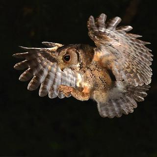 Collared Scops Owl, 領角鴞