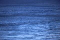 IMG_3696 (gervo1865_2 - LJ Gervasoni) Tags: surfing with whales lady bay warrnambool victoria 2017 ocean sea water waves coast coastal marine wildlife sealife blue photographerljgervasoni