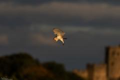 Barn Owl Hunting At Sunrise (Steve (Hooky) Waddingham) Tags: bird british barn countryside nature northumberland animal wild wildlife prey