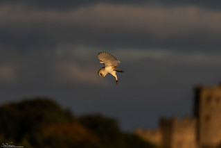Barn Owl Hunting At Sunrise