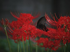 red and black (Kito K (fxkito2)) Tags: flower japan dof tokyo nature bokeh lumix olympus red omd black swallowtailbutterfly