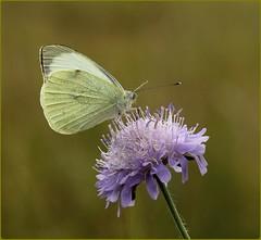 Small White nectaring on Field Scabious (glostopcat) Tags: smallwhitebutterfly butterfly insect invertebrate july summer glos macro wildflower fieldscabious butterflyconservation prestburyhillnaturereserve