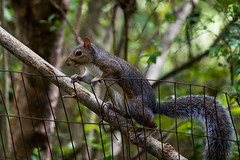 IMG_0031 Trying to Decide (oldimageshoppe) Tags: graysquirrel male frozen watching cautious fence afternoonlight latesummer