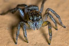 Housefly Catcher (alvarolsalmeida) Tags: spider