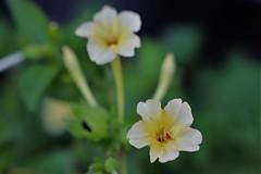 IMG_1572 (2) (shaky2009) Tags: four o clock flowers