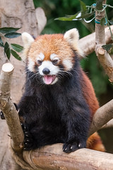 Red Panda (Ruroni Poru) Tags: animals mammal redpanda japan kansai kobe kobeanimalkingdom fuji xt3 zoo
