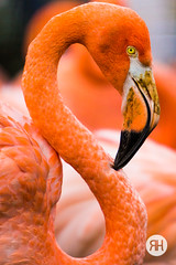 Let's do the flamingo! (RonHui) Tags: ouwehands zoo animals dier beest dieren dierentuin