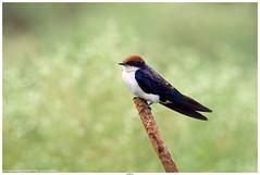 Wire-tailed Swallow (तारवाली भिंगरी) - Hirundo smithii (jhureley1977) Tags: wiretailedswallow तारवालीभिंगरी hirundosmithii birds birding india indiabirds indiabirding2018 birdsofindia birdsindia ashjhureley avibase naturesvoice bbcspringwatch rspbbirders orientbirdclub ashutoshjhureley rspb