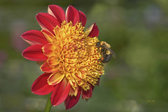 Pollen Stop (ChristopherLeeHewitt) Tags: pollen dahlia petals red yellow flower flora foliage flowers fleur summer bloom blossom bee nature nikon plants macro dof garden insect