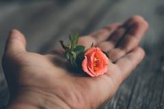 The smallest (Inka56) Tags: 7dwf rose miniroses hand woodtable throughherlens