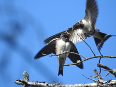 hungry young swallow Hirundo rustica  hirundinidae (BSCG (Badenoch and Strathspey Conservation Group)) Tags: bird sl hirundo hirundinidae moray perch young ad snag pine pinus flight perched gape