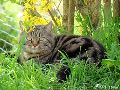 Le repos du chasseur... (Jean-Daniel David) Tags: animal chat nature herbe pelouse jardin fleur closeup vert verdure jaune forcicia penthalaz suisse suisseromande vaud fabuleuse