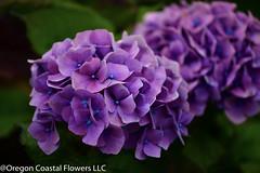 lavender purple hydrangea (Oregon Coastal Flowers) Tags: purple lavender hydrangea
