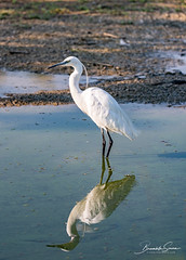 The image of a Little Egret reflected in the water of a pond (Brambilla Simone Photography) Tags: animal animals background beak beautiful beauty bird birds birdwatching blue cold cool early egret egretta environment feather feathers fish fishing garzetta great heron image italy lake light little long morning natural nature outdoor park plumage pond portrait reflection seeking south standing travel vertical water waterreflected wetland white wild wildlife worm