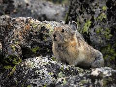 Pika (Bill Bowman) Tags: pika ochotonaprinceps alpine rocktalus lichens americanpika