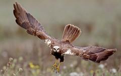 Nendrinė lingė ( Circus aeruginosus) Marsh Harrier,  Rohrweihe - 6F3A2481 (1) (Gediminas Gražulevičius, Lithuania) Tags: nendrinėlingė circusaeruginosus marshharrier rohrweihe lietuva lithuania