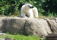 Ijsbeer (3) (bertknot) Tags: blijdorp blijdorprotterdam blijdorpzoo dutchzoo dierentuin blijdorpdierentuin ijsbeer polarbear