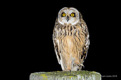 Coruja-do-nabal   Short-eared owl   Asio flammeus (Álvaro Nunes) Tags: corujadonabal shortearedowl asioflammeus