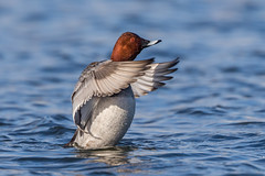 Pochard (Simon Stobart) Tags: pochard aythya ferina fly flapping water north east england uk