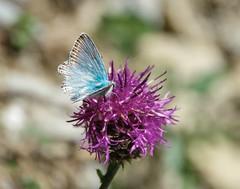 blue butterfly (Körnchen59) Tags: blau schmetterling blue butterflyhauhechelbläuling nature schynigeplatte schweiz körnchen59 elke körner pentax ks2