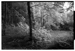 Forest_Ilford_Pan400 (*Irshat*) Tags: ilford ilfordpan400 pan400 bwfilm analog nikons2 nikonrangefinder wnikkor rangefinder