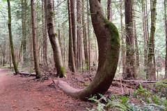 Curved tree, Gazzam Lake Nature Preserve (Seti451) Tags: gazzam bainbridgeisland