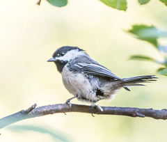 A Wild Chik. (Omygodtom) Tags: wildlife bird oaksbottom chickadee nature 7dwf existinglight usgs nikon70300mmvrlens dof d7100 contrast