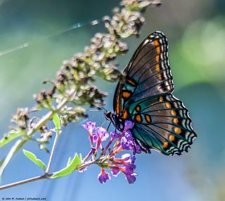2018.08.23.1805 Butterfly
