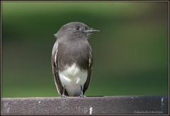DSC_7134  Black Phoebe (felicitydawn) Tags: flycatcher phoebe