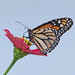 Monarch - today on red zinnia