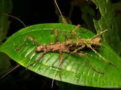 Stick insects mating, Parobrimus sp. (Ecuador Megadiverso) Tags: andreaskay birdwatcherslodge ecuador mating mindo parobrimussp phasmatodea phasmid pseudophasmatidae spiny stickinsect walkingstick