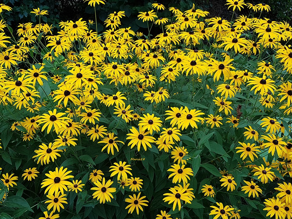 The World S Best Photos Of Rudbeckia And Yellow Flickr