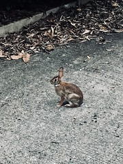 Urban rabbit (The Big Jiggety) Tags: rabbit lapin conejo kaninchen alley ruelle hank you always for your handsomely fkeshed out comment