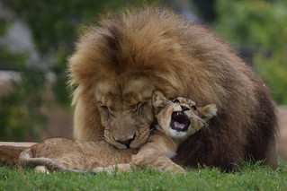 Kruger & his cub @ Zoo de Beauval 04-09-2017