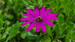 DSC_2321 (Miguelo.) Tags: 2013 andalucia digital españa flores nikon profundidaddecampo flowers