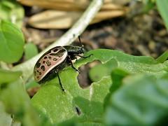 Calligrapha diversa (Stål, 1859) (carlos mancilla) Tags: insectos escarabajos beetles calligraphadiversastål1859 calligraphadiversa escarabajocalígrafo chrysomelidae chrysomelinae olympussp570uz
