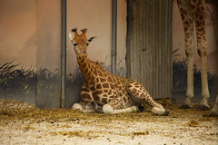 IMG_4318 (gabrielgs) Tags: holiday holiday2018 vakantie2018 camping frankrijk france zoo la fleche lafleche animals dierentuin loire