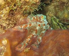 113-IMG_5302 (adrienweckel) Tags: adrienweckel mollusques octopusbriareus poulpedesrécifs