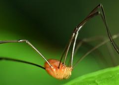 3.8 mm orange harvestman (ophis) Tags: opiliones eupnoi phalangioidea sclerosomatidae leiobunum leiobunumpolitum harvestman