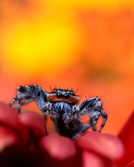 Fire & Brimstone (dianne_stankiewicz) Tags: spider jumpingspider flowers red orange gold firebrimstone macro