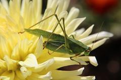 Cricket on Dahlia (nikname) Tags: cricket cricketsonflowers insects insectsonflowers dahlias garden