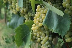 Grapes (c.colombini) Tags: italy canoneosm5 grapes uva