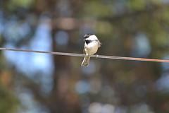 2018-09-10 Bird Watching 24 (s.kosoris) Tags: skosoris nikond3100 d3100 nikon bird birds chickadee camp huronian