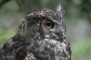 Great Horned Owl-SNP-18-7